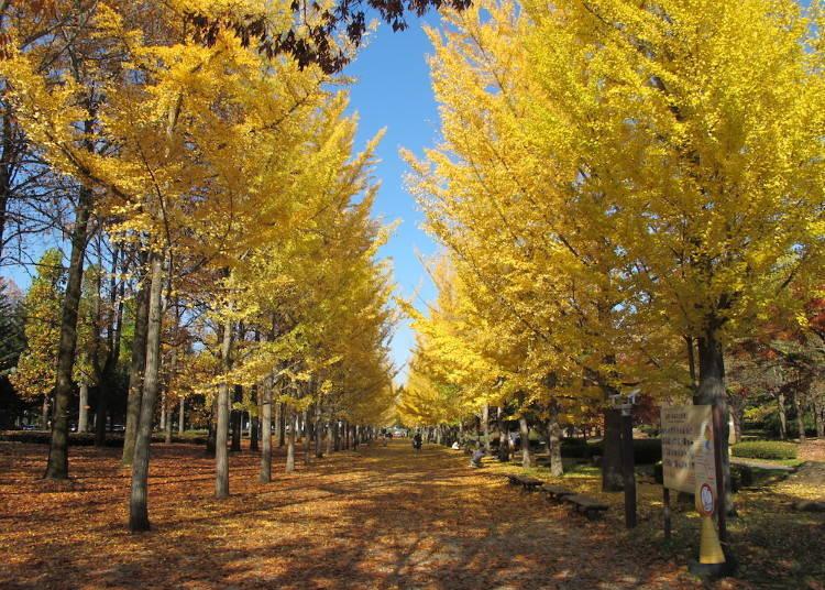 山形紅葉景點⑧黃金色的樹林道與地毯「山形縣綜合運動公園的銀杏樹林道」