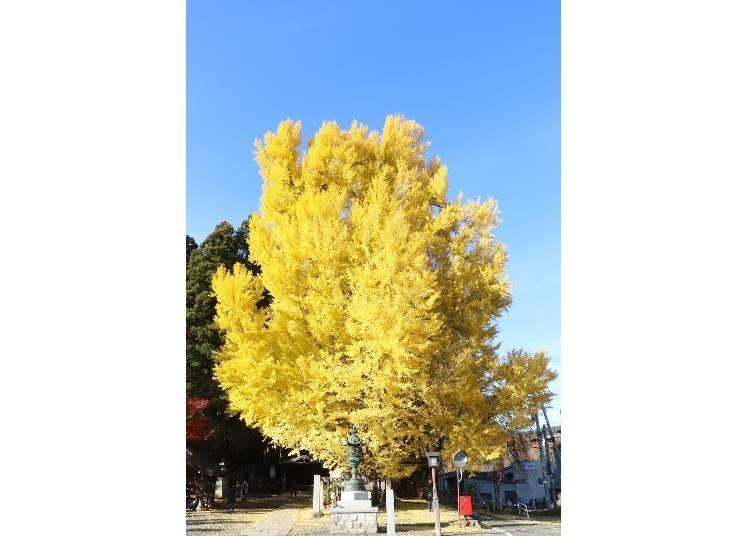 山形紅葉景點⑨高度約30公尺,魄力十足的「熊野大社的大銀杏樹」