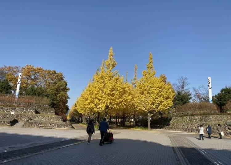 1. Azuma Sports Park: Beautifully lit up Ginko trees in autumn
