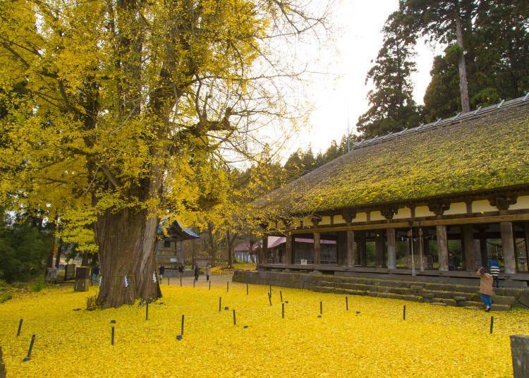 福島紅葉景點⑥擁有800年以上樹齡的巨大銀杏樹「新宮熊野神社」