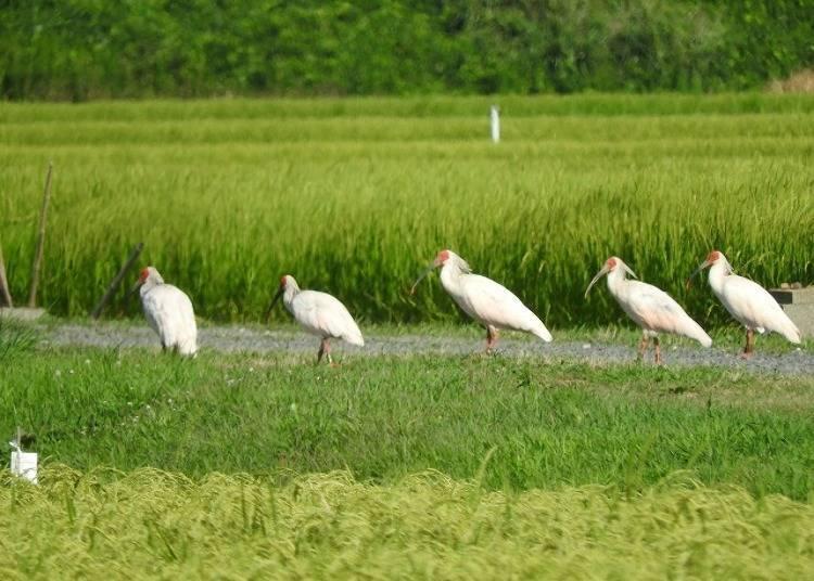 "3. Meet the ""crested ibis"" nurtured by Sado's nature!"