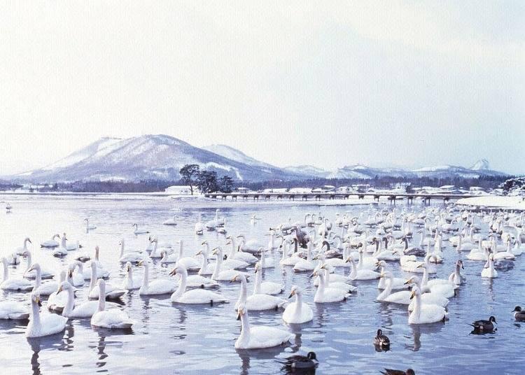 7.浅所海岸に白鳥を見に行く