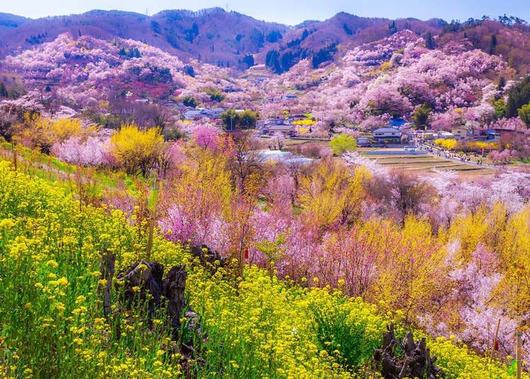 1. Hanamiyama (Fukushima City, Fukushima Prefecture)  Train: Tohoku Shinkansen Yamabiko (Fukushima Station)