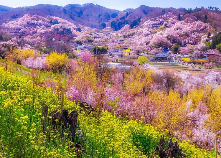 1.花見山(福島県福島市) 利用列車:東北新幹線やまびこ(福島駅)