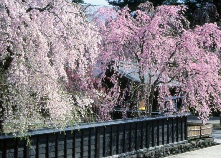 6)角館の桜まつり(秋田県)
