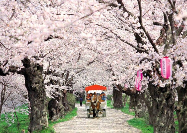 7) 기타카미 전승지 벚꽃 축제(이와테현)
