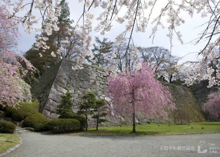 8) 【2021년 개최 중지】 모리오카 벚꽃 축제(이와테현)