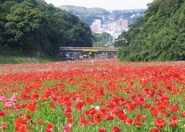 1위. 요코스카 구리하마 꽃의 나라