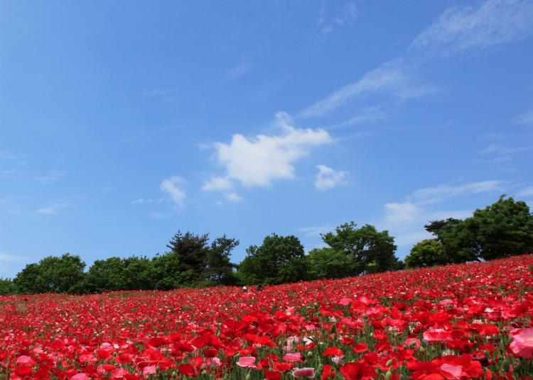 1.Showa Memorial Park