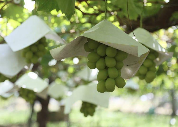 Fruits galore at Fuefukigawa Fruit Park