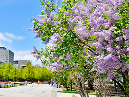 Mid-May to early June: Sapporo Lilac Festival