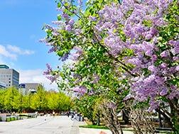 5月中旬~6月上旬 札幌紫丁香祭(さっぽろライラックまつり)