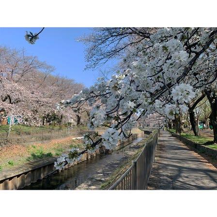 【名所紹介】桜が開花「善福寺川緑地」