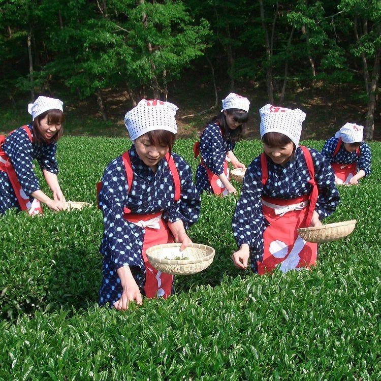 Tea Leaf Picking & Shuzenji