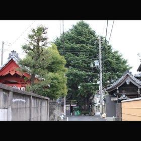 Himaraya Sugi