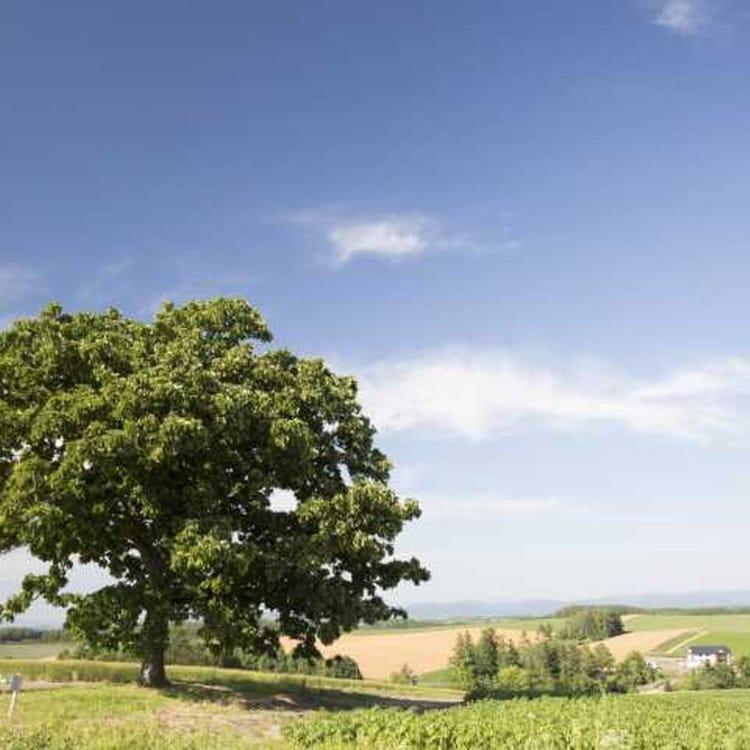 세븐스타의 나무