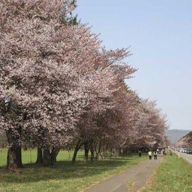 시즈나이 니줏켄도로 벚나무 가로수