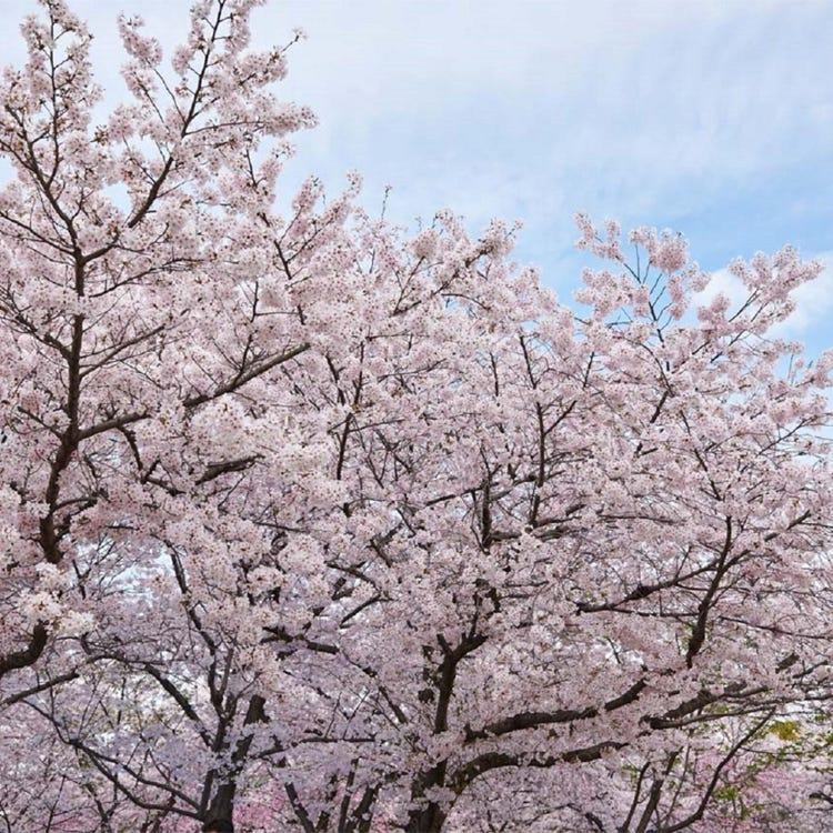 大阪 城 公園 梅林