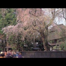 가쿠노다테 수양 벚꽃