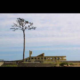 The Miracle Pine Tree of Rikuzentakata
