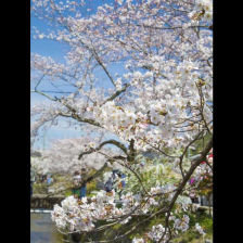 The Yoshino Cherry Trees of the Philosopher's Walk