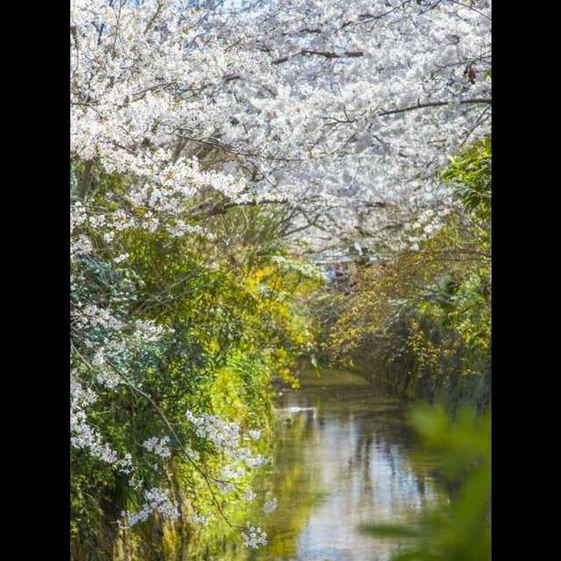 The Yoshino Cherry Trees of the Philosopher's Walk