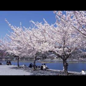 Arashiyama Cherry Blossoms