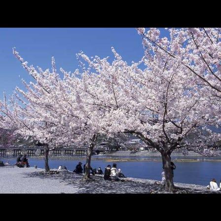 아라시야마의 벚꽃