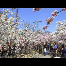 Cherry Blossom Viewing at the Osaka Mint