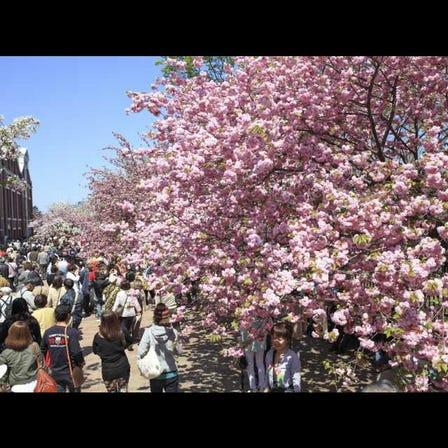 조폐국의 벚꽃 터널