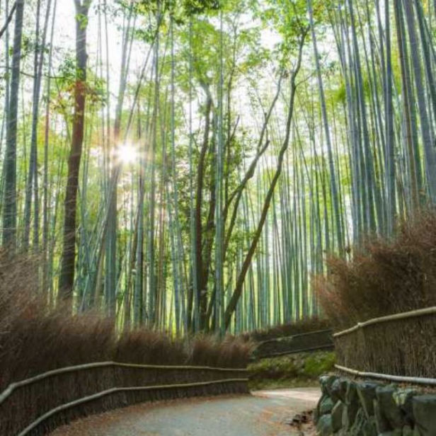 Chikurin-no-Michi (bamboo forest)