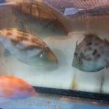 水槽で泳ぐ新鮮な鮮魚を調理