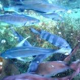 長崎、佐賀、福岡。直送鮮魚仕入れです。いけす魚【長崎県、佐賀県、福岡県】
