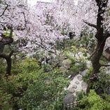 淡い桜が庭園を飾り、とても綺麗です。