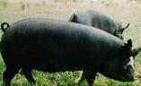 埼玉県が誇るブランド豚彩の国黒豚【埼玉県】