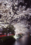 木屋町通りの桜並木