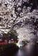 桜の名所、木屋町通り沿い