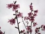 地の桜 おかめ桜 やっと咲き始めました