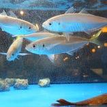 「みなと」の自慢はなんといっても鮮魚!店内の水槽には、いきたまま仕入れた魚介を泳がせています