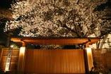 春に満開となる樹齢80年の桜の樹