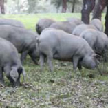 高級ブランド豚「イベリコ」とは