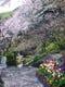 桜咲く春の庭