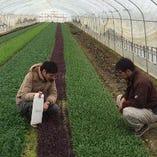 契約栽培 手摘み収穫の肉厚ベビーリーフ【宮城県】