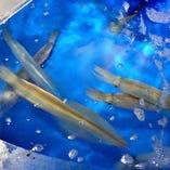 店内のいけすを泳ぐ泳ぎイカの造りは歯ごたえ!