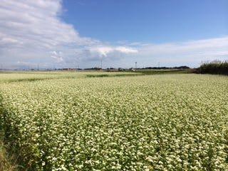 鹿屋在来種は、鹿児島県志布志市で栽培されています。