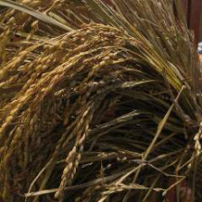 新潟コシヒカリを長岡の農家から直送