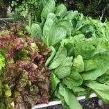 【野菜】 シェフの畑ですくすく育った鮮度抜群の野菜をサラダで