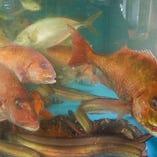 【鮮魚・イカ】 毎日仕入れた魚を店内の大型生簀にて管理。