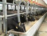 神戸に行って神戸牛の牛舎を見学してきました。