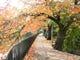 秋には疏水沿いの桜並木の紅葉
